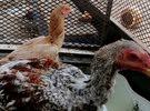 دجاجة و ديك