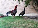 دجاج باكستاني شامو