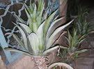شتلات وسنادين نبات الصبير الخارجي