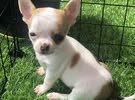 Applehead Chihuahua puppy