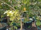 اشجار للبيع