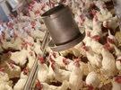 مطلوب دجاج بياض عمر 8 شهور