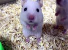 hamsters available white and Japan gray