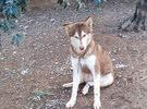 كلب هاسكي للبيع عين زرقه وعين عسلي العمر سنه ماخذ جميع المطاعيم مطيع اليف