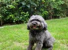 toy poodle male for meeting not for sale ذكر لتلقيح