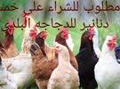 اقرأ  جيدآ  مطلوب للشراء دجاج بلدي