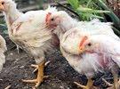 دجاج طازجج سعر مغري