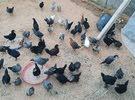دجاج عربي العمر شهرين ونص العدد 50واخد جميع التحصنات ربي ايبارك السعر 13د