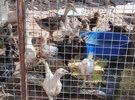 صيصان دجاج عمر شهر ونص