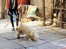 كلب تيريري حجم الكبير لونج هير اسمه سمسم حلو ولعوب