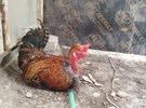ديج ابو ركيبه ودجاجه