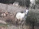 حصان بصلاه على النبي