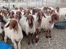 للبيع يعد نعيميات كويتي بيور درجه اول