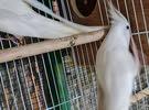 كوكتيل ذكور اناثي  العدد 6 طيور البينو للبيع