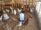 Desi chickens