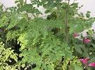 نباتات مورينجا للبيع