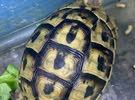 Turtles/Tortoise Available in rak  السلاحف المتاحة