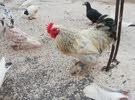 طقم دجاج