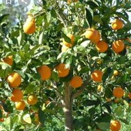 شجرة البرتقال البرتقال