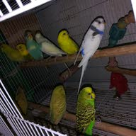 طيوري