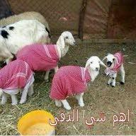 fahad AL saif
