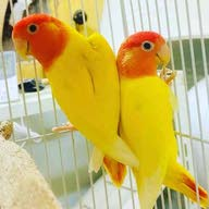 طائر الروز