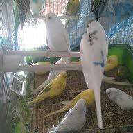 لعشاق طيور الحب