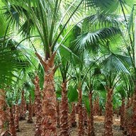 Washintonia Palm Ksa