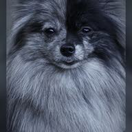 dubai dogs12