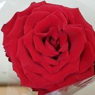وردة جوري