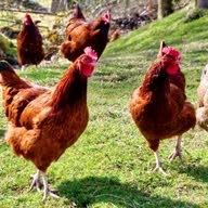 لبيع اعلاف الدجاج