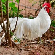 دجاج بلدي الأجواء