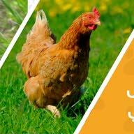 سمان وصوص دجاج محلي وفرنسي