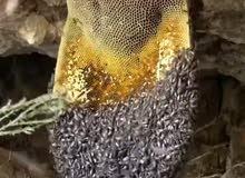 عسل جبلي أصلي مع تحاليل مخبرية ....هه ندویی اصل شاخ