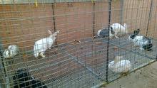 lapin أرانب للبيع