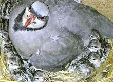 طيور حمام