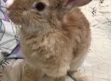 ارنب للبيع