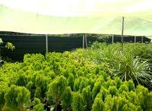 نبات اتويا