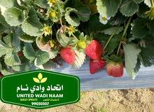 شتلات فراولة لاستيراد