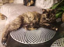 قطة شيرازية انثى