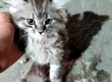 مطلوب قطا انثى لون رصاصي مندنفشه كون شيرازي سكوتج عادي