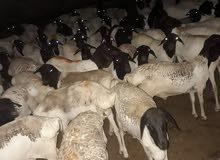 Livestock dealer