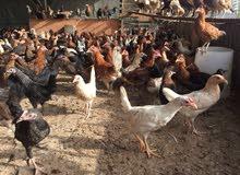 تصفية بالرخص دجاج عماني عمر 3 شهور ب 800 بيسه فقط