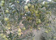 فني تقليم اشجار زيتون وفاكهة