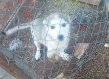 كلبهه هاسكي  عمرها شهرين للبيع