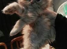 قطط بيتية جميلة للبيع..
