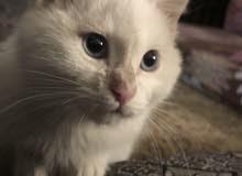قطة انجروا للبيع عمر 3 اشهر