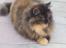 قطه منزلية