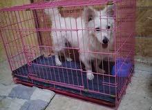 كلب فرنسي ذكر لبيع عمره7