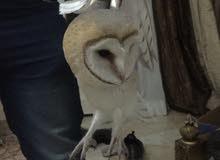 طائر البومه